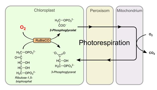 Photorespiration