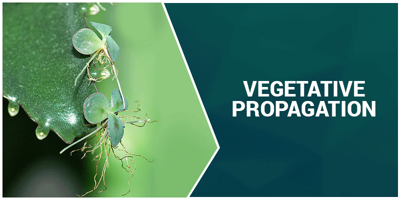 Vegetative Propagation