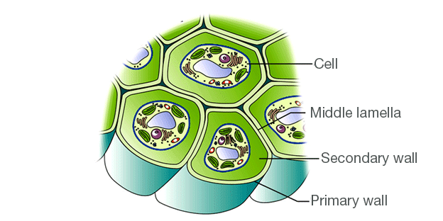 Prokaryotic cell wall