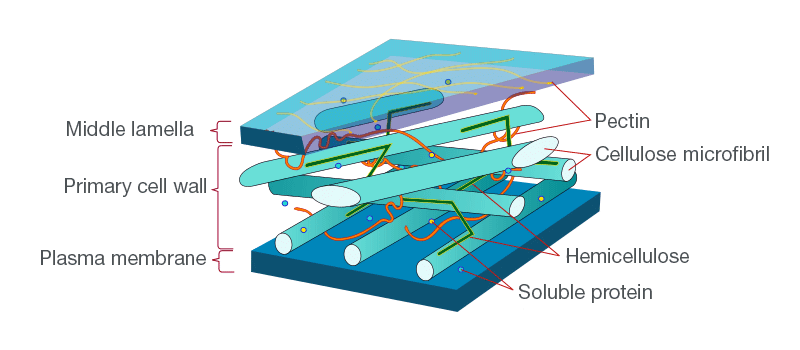 Middle Lamella and Primary Cell Wall