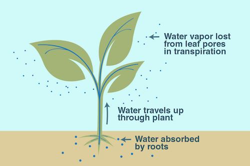 Water Transport In Plants | Transportation System and ...