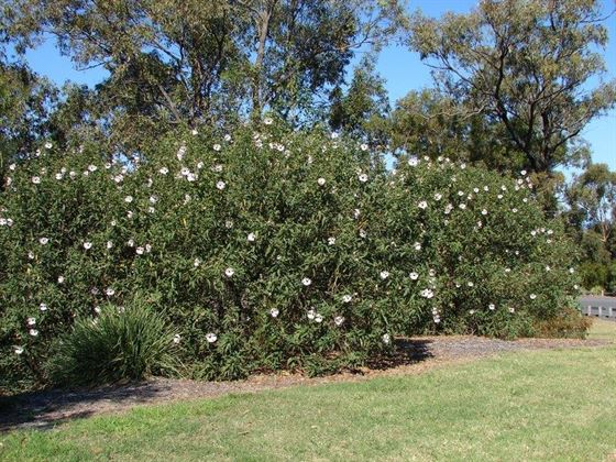 Shrubs Characteristics Functions Types And Uses Of