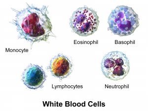 White Blood Cells