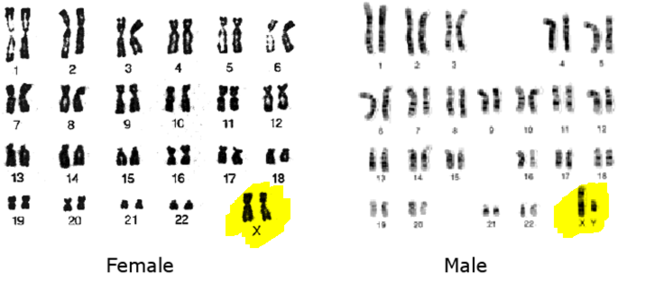 Gender Determination - Role Of Chromosomes In Human -9991