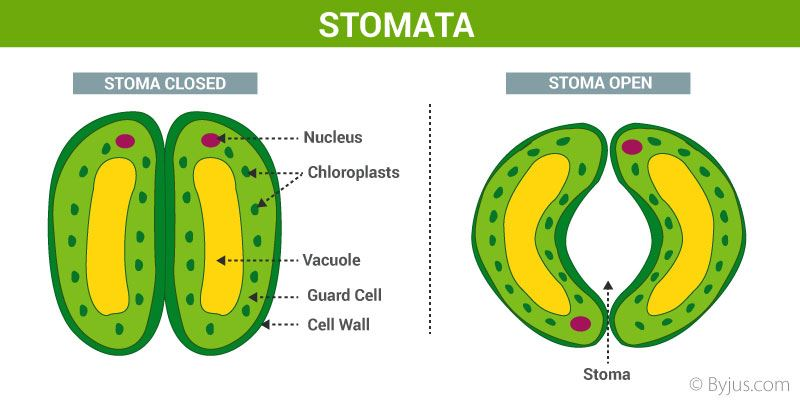 Respiration In Leaves - Opening and Closing the Stomata