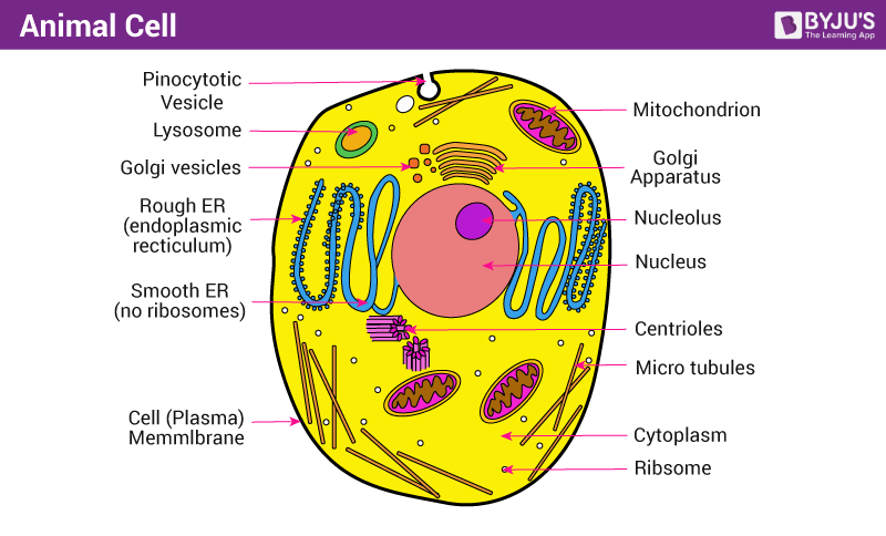 Animal Cell Structure Function And Types Of Animal Cell