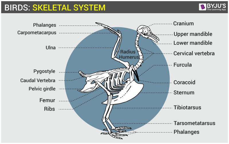 Cool Bird Skeletal System Anatomy Of Avian Skeletal System Wiring Digital Resources Funapmognl