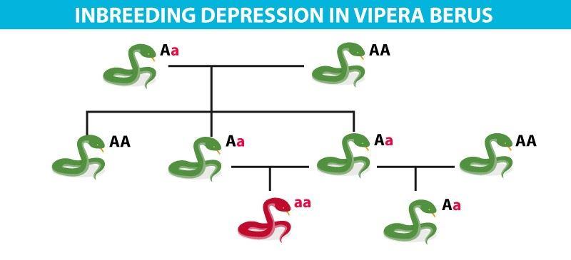 Inbreeding depression in Vipera berus