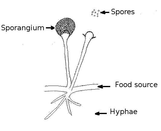 Structure of Kingdom Fungi