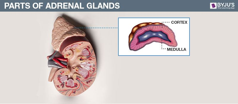 Parts of Adrenal Glands