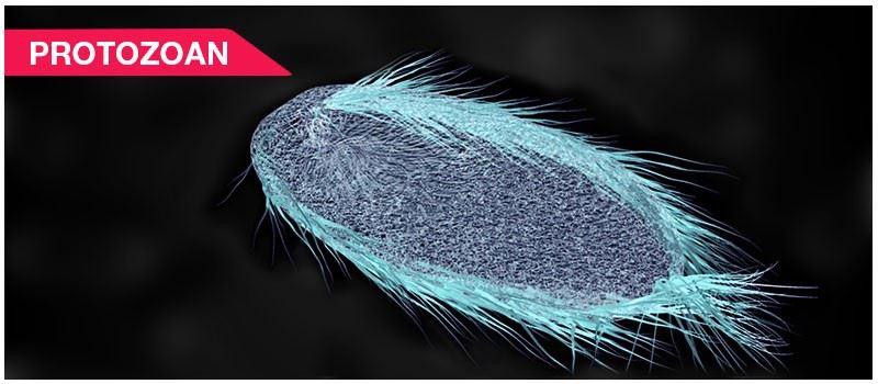 Protozoan