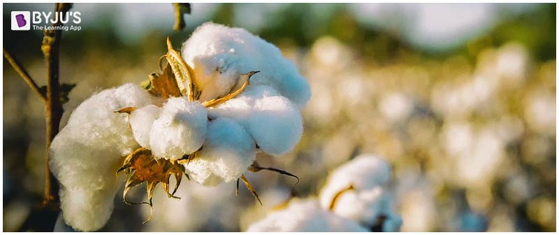 Bt Cotton- Genetically modified crops