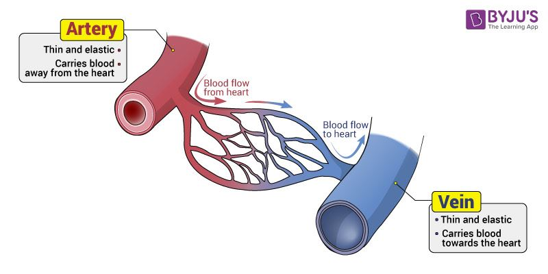 Blood Vessels - Types, Functions And Layers Of Blood Vessels-2842