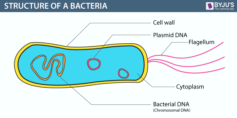 Bacteria Structureclassificationreproduction And Its Benefits