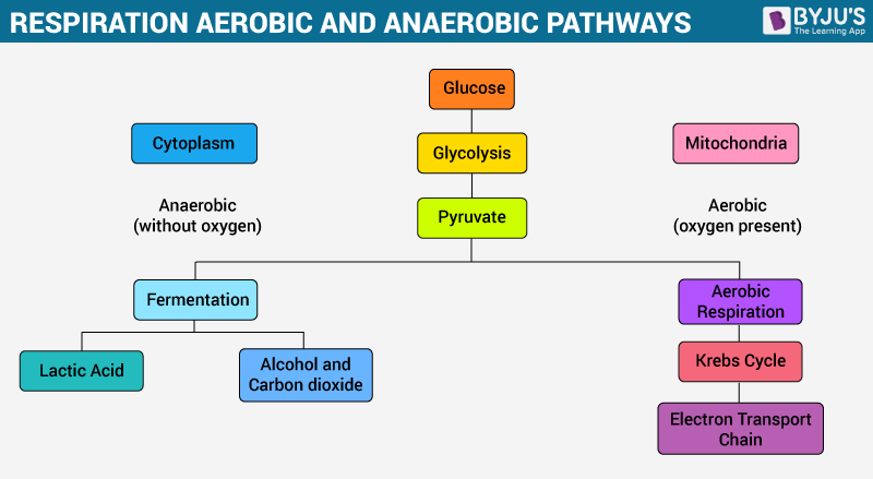 Overview Of Cellular Respiration Aerobic Anaerobic Respiration