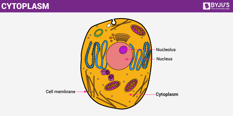 Cytoplasm - An Overview of its Structure And Functions