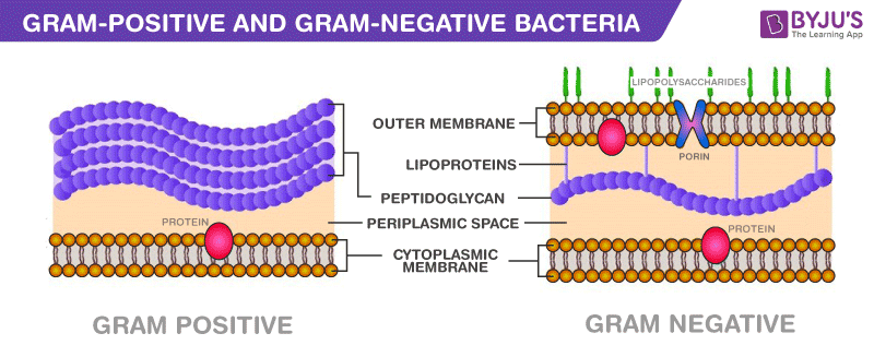 Major Difference Between Gram-Positive and Gram-Negative Bacteria