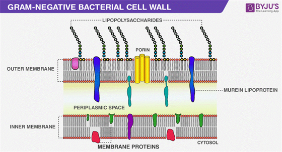 Gram-Negative Bacteria cell wall