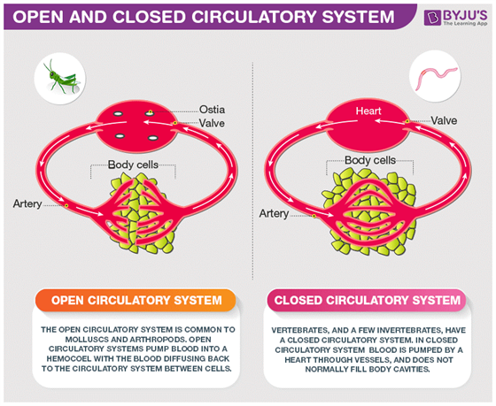 distinguish between open and closed circulatory systems