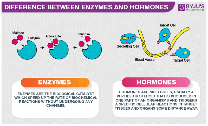 Difference Between Enzymes and Hormones