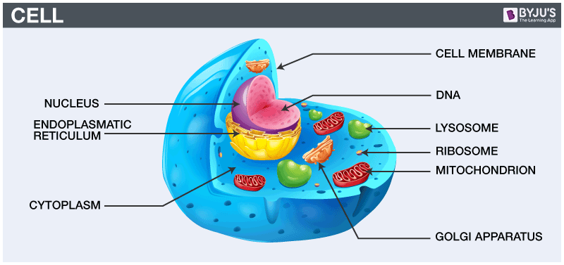 Cell diagram - important diagram class 9 science