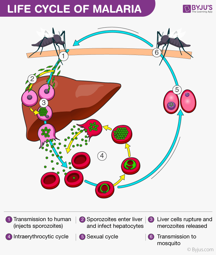 Malaria - Causes, Symptoms, Prevention and Life Cycle of