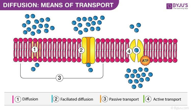 Diffusion in Plants