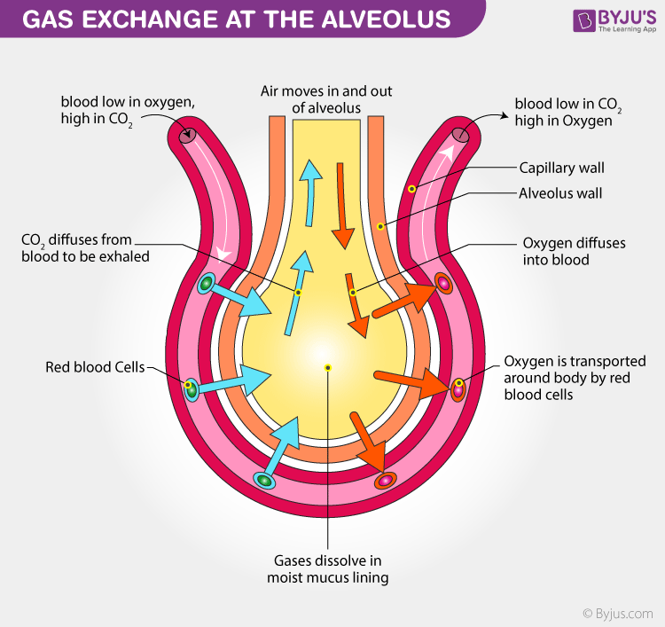Exchange of gases in humans