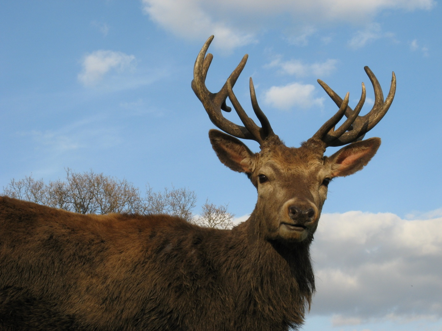 https://upload.wikimedia.org/wikipedia/commons/3/35/Red_Deer_Stag_Wollaton_Park.JPG