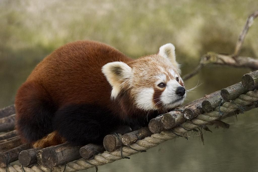 https://upload.wikimedia.org/wikipedia/commons/c/c6/Red_Panda.JPG