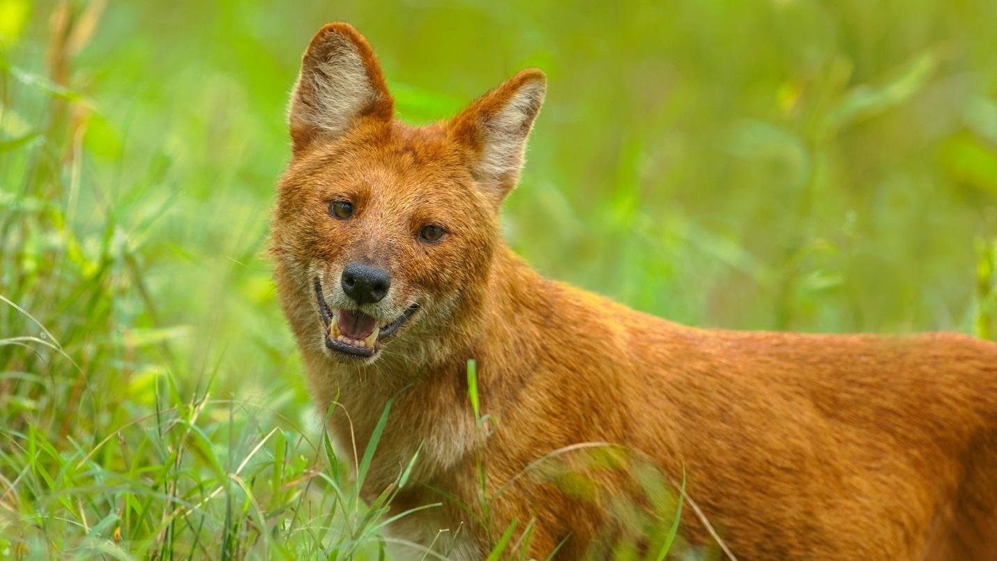 https://upload.wikimedia.org/wikipedia/commons/0/0e/Asiatic_Wild_Dog.jpg