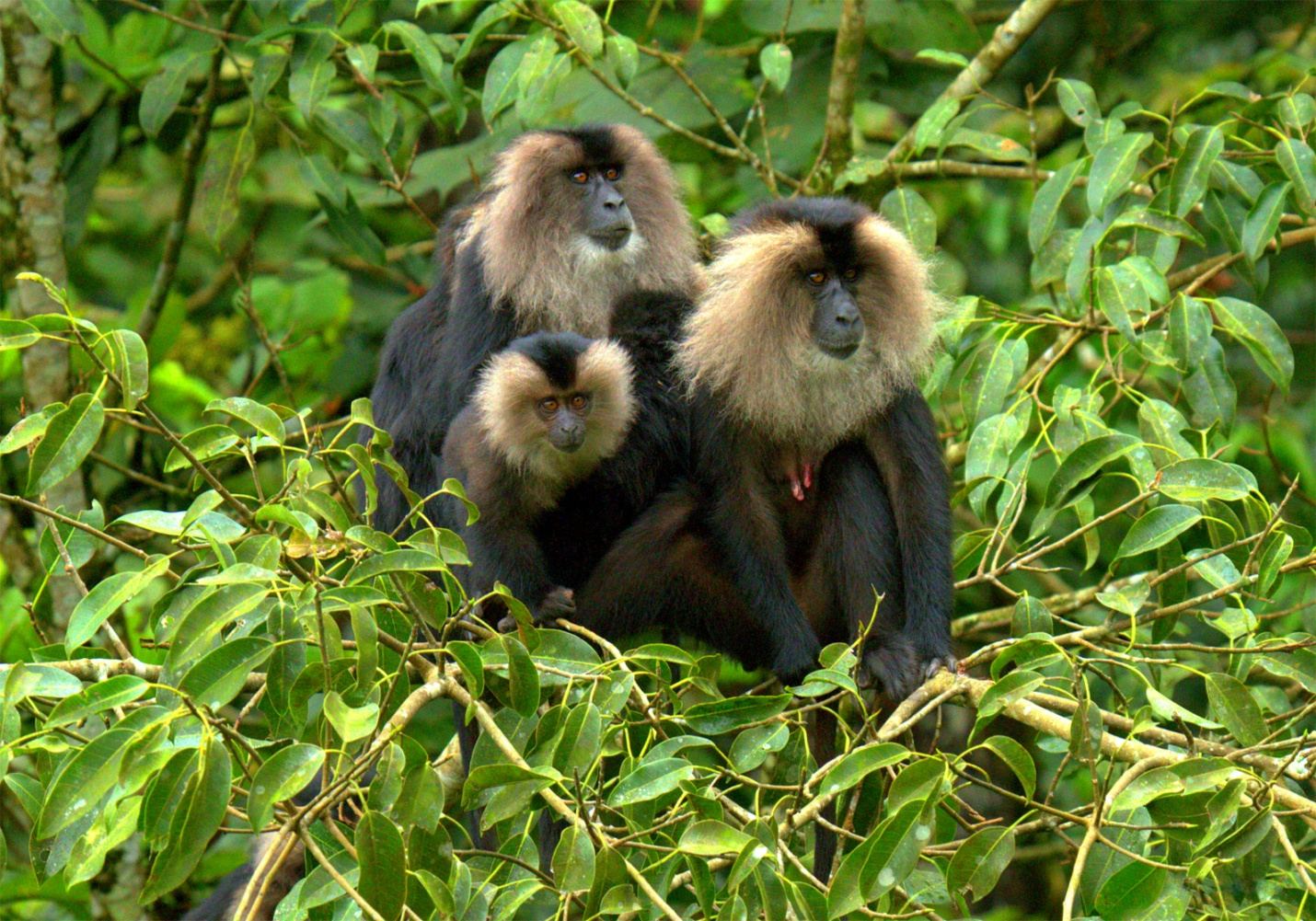 https://upload.wikimedia.org/wikipedia/commons/f/fb/Lion-tailed_macaque_by_N._A._Naseer.jpg