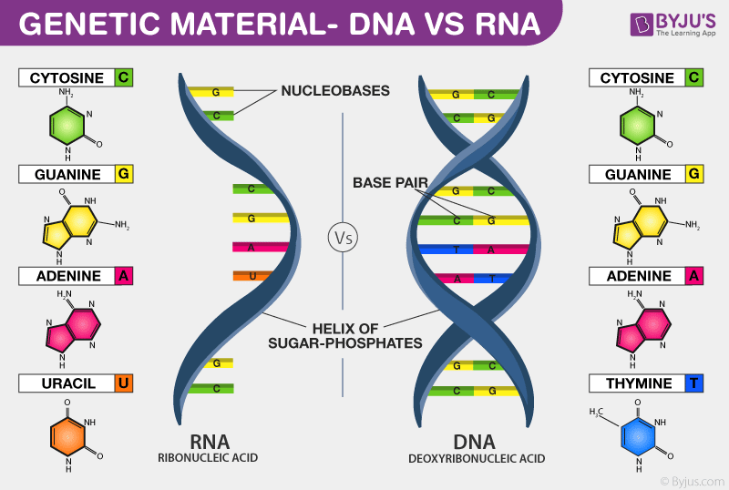 DNA vs RNA_ Genetic material