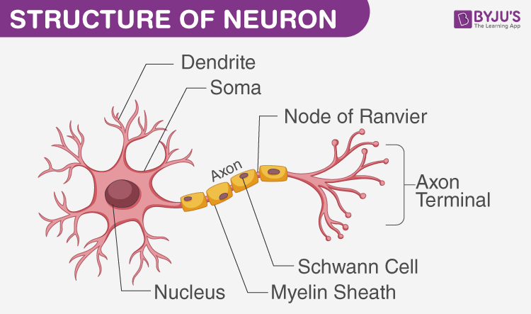 Nervous system - Reflex Action, Voluntary and Involuntary Action