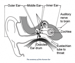 structure of human ear and hearing range of humans byju's  black ear diagram #15