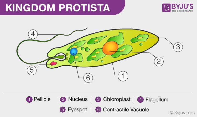 fungi like protists diagram fungi cell diagram