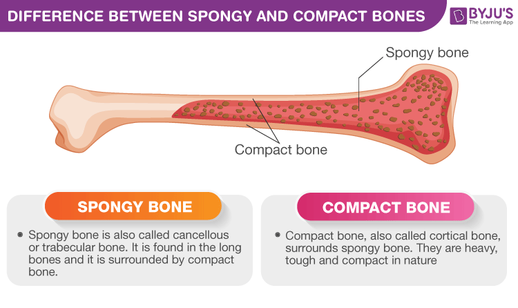 Difference Between Spongy and Compact Bones