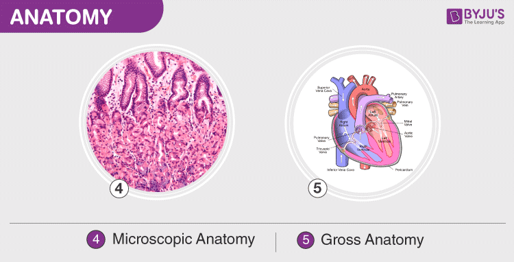 Microscopic and Gross Anatomy