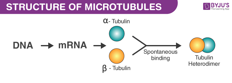 Structure of Microtubules