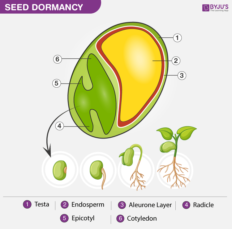 Dormancy of Seeds