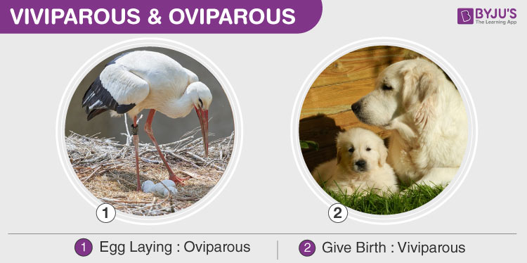 Viviparous & Oviparous- Development Of Embryo