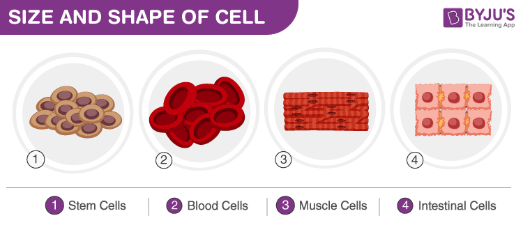 Size of cells