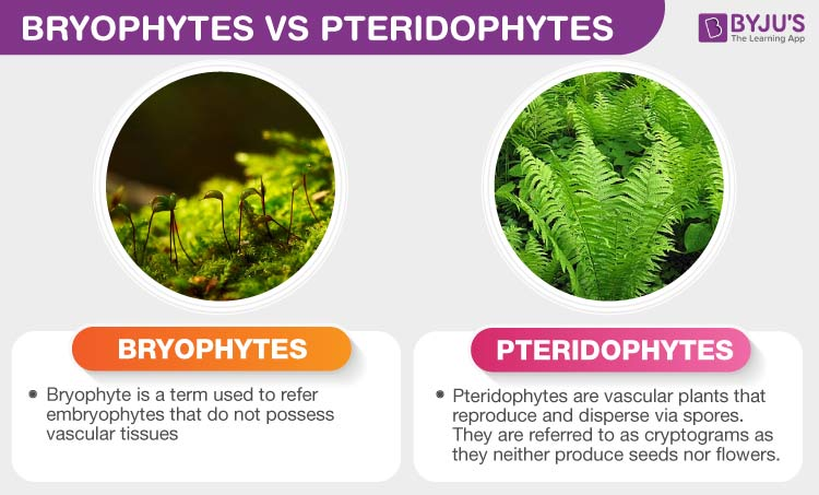 Difference Between Bryophytes and Pteridophytes