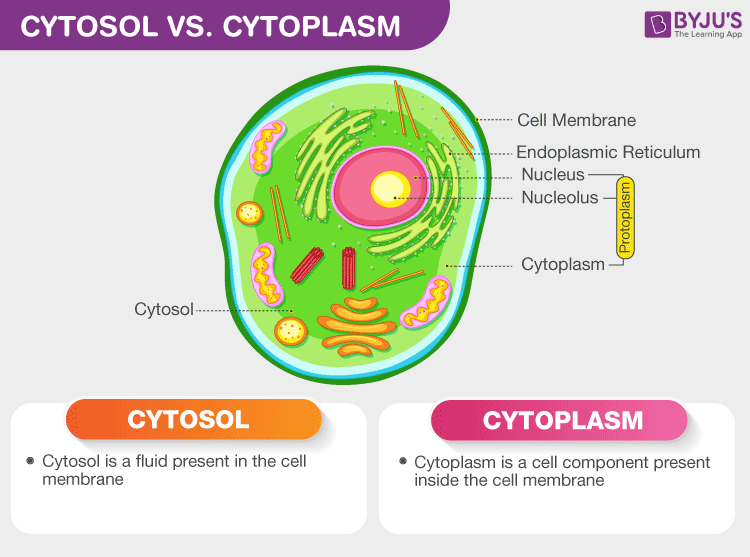 difference between cytosol and cytoplasm cytosol vs cytoplasm byju's  diagram of cytosol #5