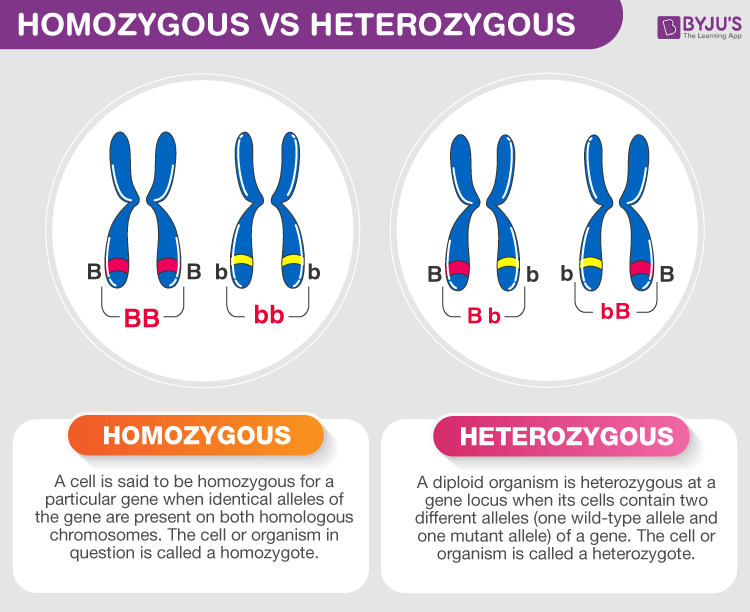 Difference Between Homozygous and Heterozygous
