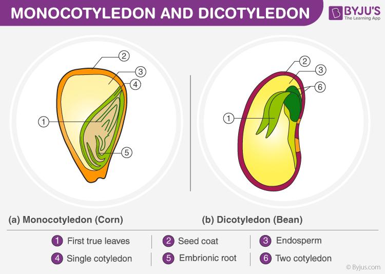 Difference Between Monocotyledon and Dicotyledon