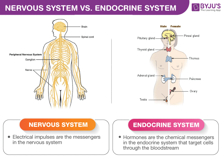 Difference Between Nervous System and Endocrine System