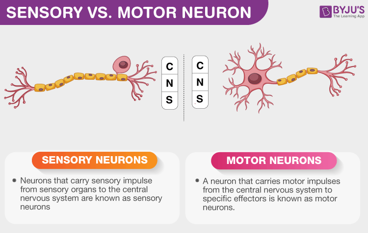 Difference Between Sensory and Motor Neurons