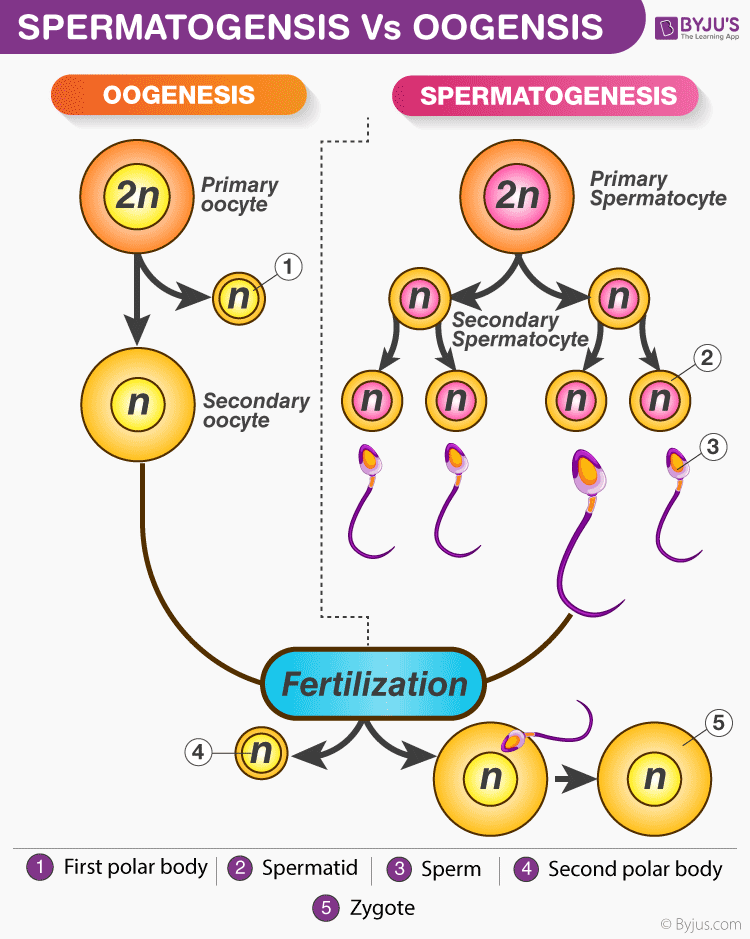 Difference Between Spermatogenesis And Oogenesis