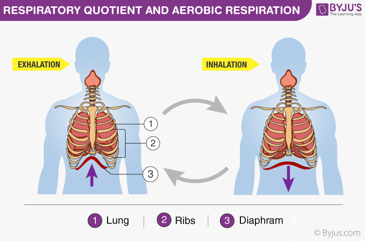 Respiratory Quotient And Aerobic Respiration